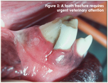 A tooth fracture requires urgent veterinary attention